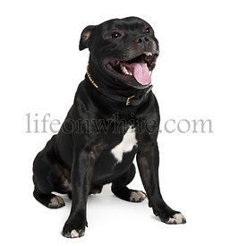 Staffordshire Bull Terrier, 2 years old, sitting in front of white background
