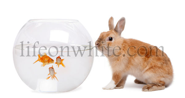 Rabbit looking at goldfish in bowl in front of white background