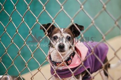 A small dog in a sweater behind a chain link fence at the animal shelter