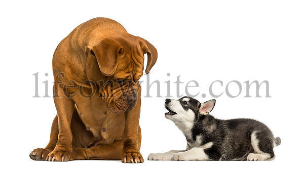 Dogue de Bordeaux sitting and looking at a Husky malamute puppy barking
