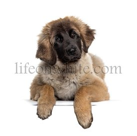 Leonberg dog leaning on a white board