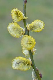 Closeup of a male goat, pussy willow or great sallow Salix caprea with golden pollen in the springtime