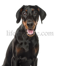 Close-up of a Doberman Pinscher puppy panting, 6 months old, isolated on white