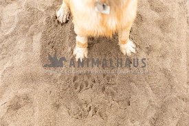 Golden Retriever paws in the sand