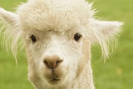 Frontal facial closeup of a gentle looking white Alpaca , Vicugna pacos
