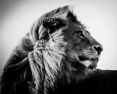 5203-Lion in the wind 3, Tanzania 2007 © Laurent Baheux
