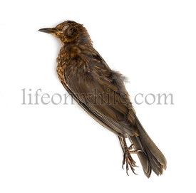 Dead Common blackbird