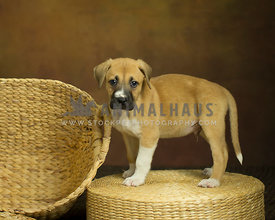 Large tan puppy stands on wicker basket with neutral warm background