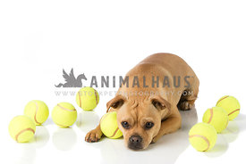 Small Pug Mix laying on White with Tennis Balls