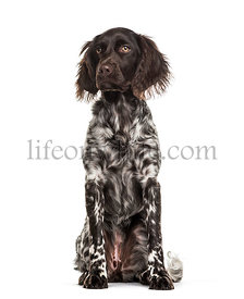Munsterlander dog , 9 months old, sitting against white background