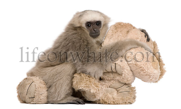 Young Pileated Gibbon, 4 months old, with stuffed toy in front of white background