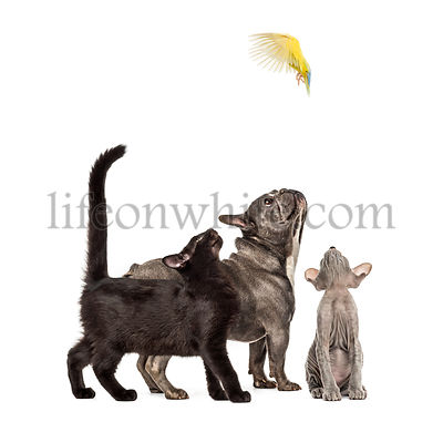 Mixed-breed black cat, Peterbald kitten, French bulldog, Rosy-faced Lovebird flying, Agapornis roseicollis, in front of white...