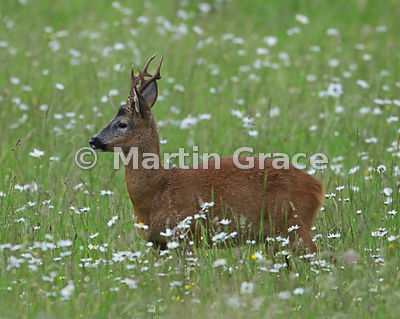 Roe Deer buck (Capreolus capreolus) in a South Lakeland grazing meadow with prominent Oxeye Daisies (Leucanthemum vulgare), L...