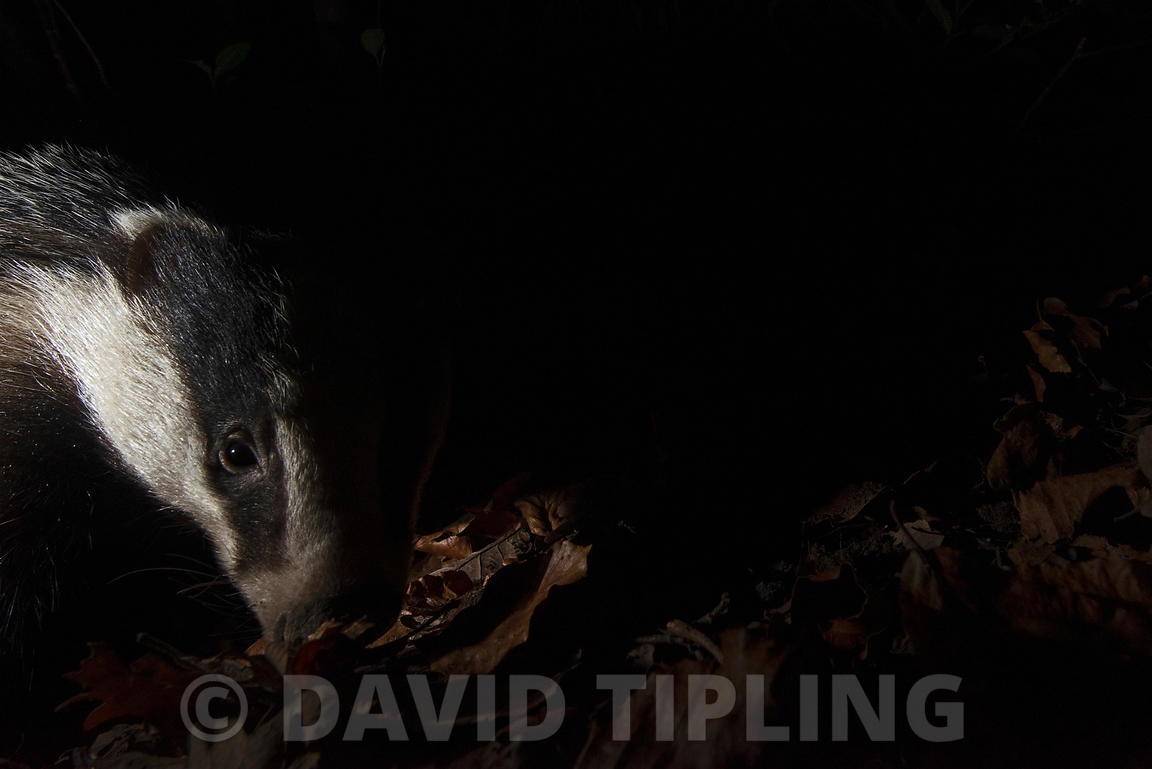 Badger Meles meles feeding in leaf litter in woodland at night Kent winter