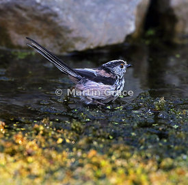 Long-Tailed Tit (Aegithalos caudatus) standing in the garden pond, Lake District National Park, Cumbria, England