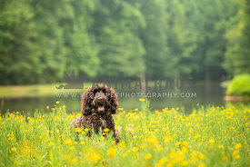 dark brown doodle laying in yellow wildfowers