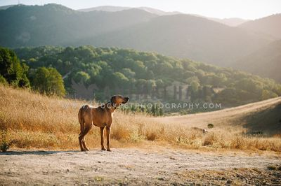 A rhodesian ridgeback standing on a trail looking off into the distance