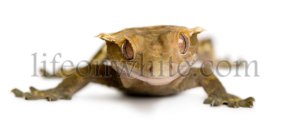 Front view of New Caledonian Crested Gecko against white background