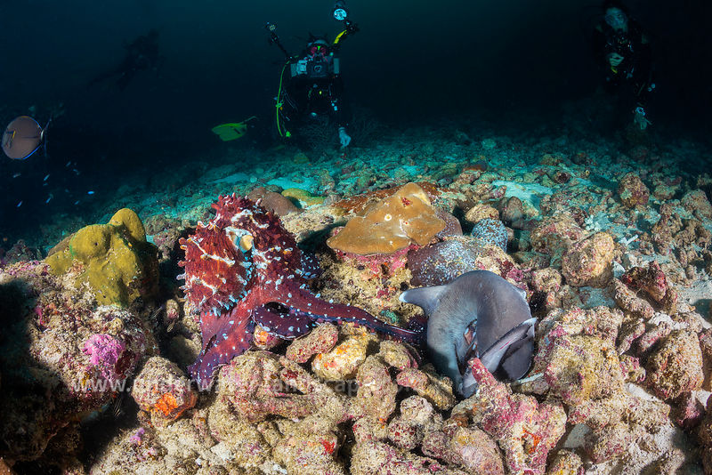 Octopus against coral shark