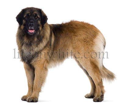 Leonberger dog, 2 years old, standing in front of white background