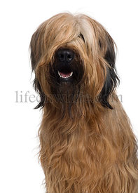 Briard, 1 Year Old, in front of white background