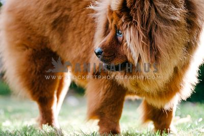 A close up of a Chow Chow looking off to the side outside