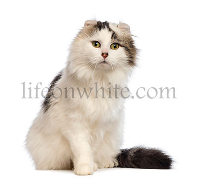 American Curl sitting and looking at the camera in front of white background