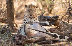 Male Leopard with Oryx Kill, Namibia