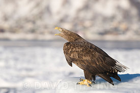 White-tailed Eagle (Sea Eagle) Haliaeetus albicilla adult calling from ice floe Nemuro Channel Hokkaido Japan (Note: This is ...