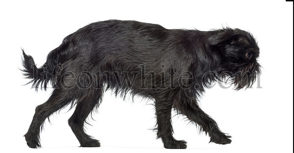 Side view of Griffon Bruxellois, 2 years old, walking against white background