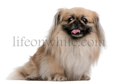 Pekingese, 7 years old, sitting in front of white background