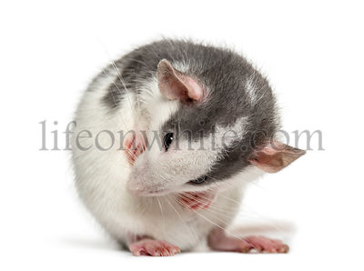 Rat washing itself, isolated on white
