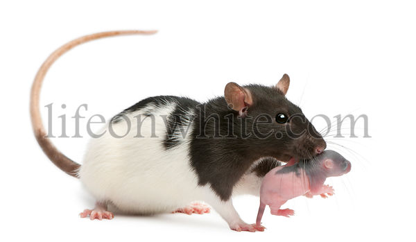 Mother rat carrying her 5 day old baby in her mouth, in front of a white background