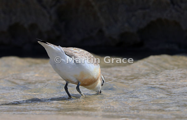 North Island subspecies of New Zealand Dotterel (Charadrius obscurus aquilonius) washing an invertebrate food item in fresh w...