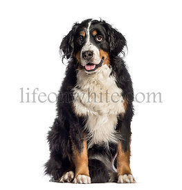 Bernese Mountain Dog, 7 years old, sitting in front of white background