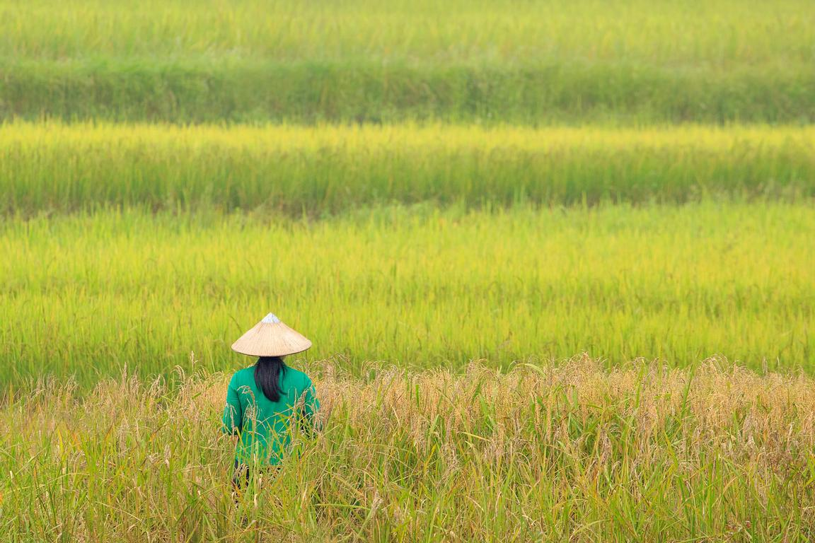 Rice Field Contemplation