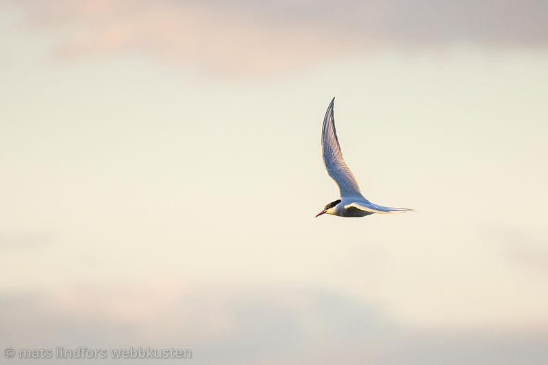 Silvertärna flygande med vackra moln