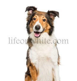 Scotch Collie sitting in front of white background