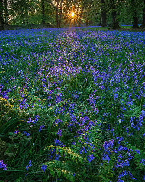 Bluebells at the ancient fort of Blackbury Camp near Sidmouth, Devon, UK