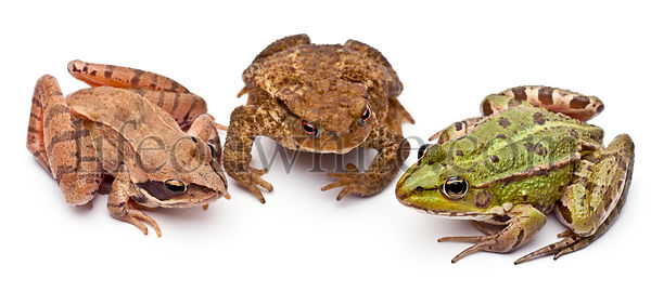 Common European frog or Edible Frog, Rana kl. Esculenta, next to a common toads or European toad. Bufo bufo, and a Moor Frog,...