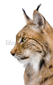 Close-up of a Eurasian Lynx's head - Lynx lynx (5 years old)