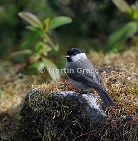 Marsh Tit (Poecile palustris), Lake District National Park, Cumbria, England