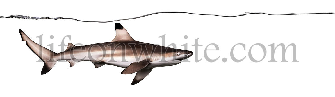 Side view of a Blacktip reef shark swimming under water line, Carcharhinus melanopterus, isolated on white