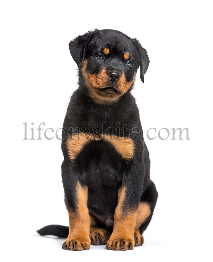 Rottweiler puppy, 10 weeks, sitting against white background