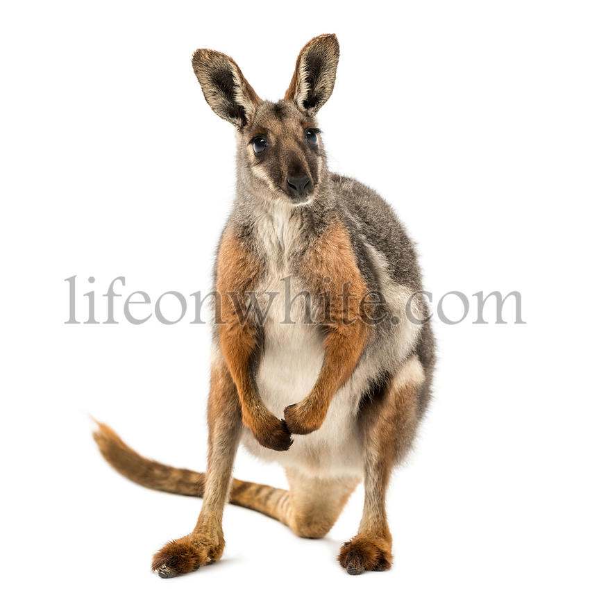 Yellow-footed rock-wallaby standing, facing, Petrogale xanthopus, isolated on white