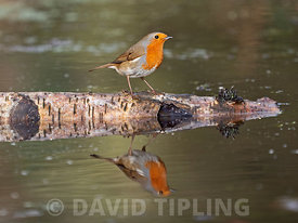 Robin Erithacus rubecula Norfolk winter