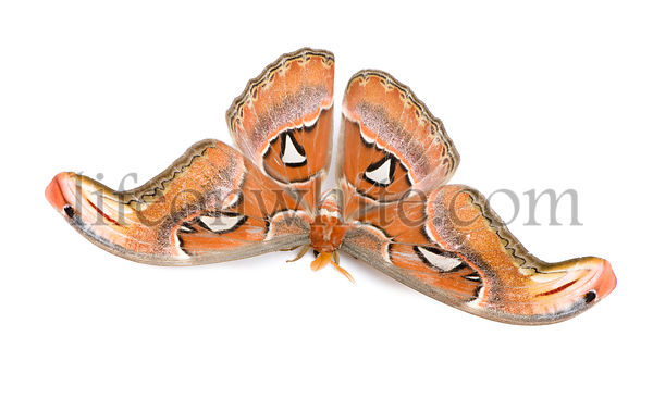 Attacus atlas moth