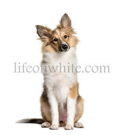 Shetland Sheepdog, 3 months old, sitting in front of white background