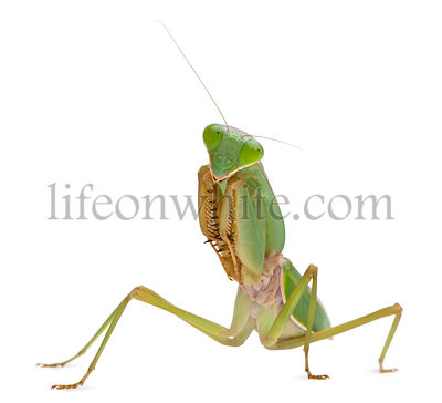 Female Praying Mantis, Rhombodera Basalis, in front of white background