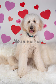 large white doodle sitting in front of backdrop with hearts on hit